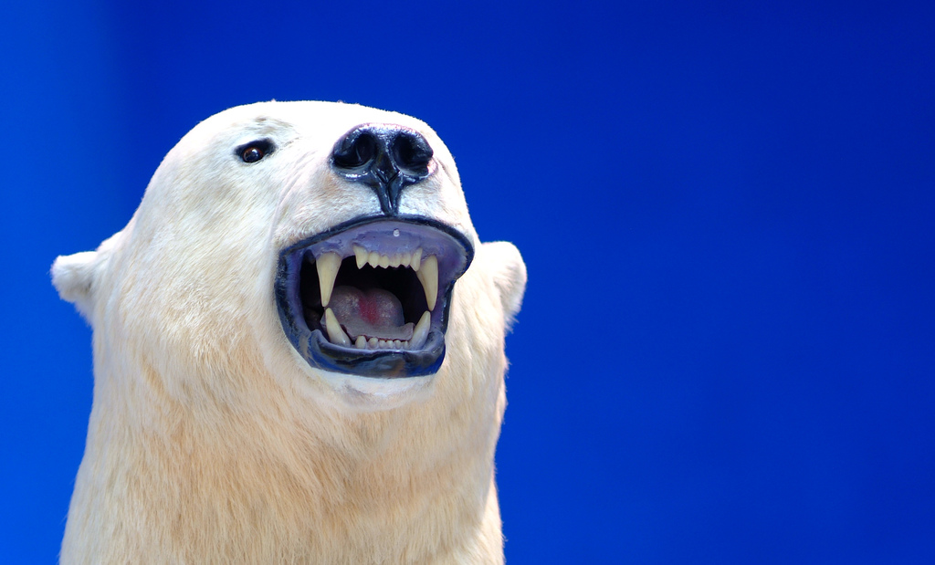 Growling Polar Bear